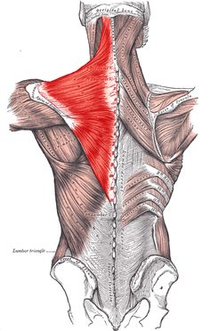 Leg muscle pain trigger points Anatomy of a Muscle Knot. Massage Therapy provides a variety of techniques that lengthen and separate muscle fibers in order to reduce tension and pain. Mid Back Pain, Muscle Knots, Latissimus Dorsi, Trigger Point Therapy, Ankylosing Spondylitis, Muscle Anatomy, Trigger Points, Back Pain Relief, Back Muscles