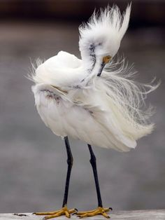 Egret Preening Photograph by Tom Arreola,