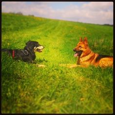 Frinds #frinds #dog #happydog #dogwalk #germansheppard
