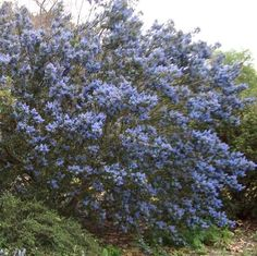 Ceanothus Tassajara Blue, California native... needs virtually no water once established