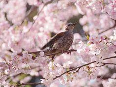 Bulbul suck cherry nectar | 桜の蜜を吸うヒヨドリ