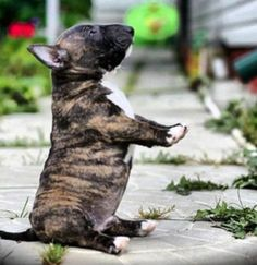 Gorgeous little brindle puppy.  Indy never could sit up like this.  She kept tipping over.