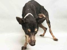 SUPER URGENT 11/21/16 **STRAY* 14 YRS OLD!!** LEROY – A1097536  MALE, BLACK / BROWN, MIN PINSCHER MIX, 14 yrs STRAY –Intake condition GERIATRIC