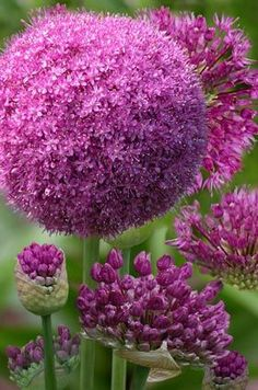 Allium ~ I love these and want them in all my flower beds. Allium ~ I love these and want them in al Exotic Flowers, Amazing Flowers, My Flower, Purple Flowers, Beautiful Flowers, Flower Beds, Flowers Bunch, Beautiful Beautiful, Trees To Plant