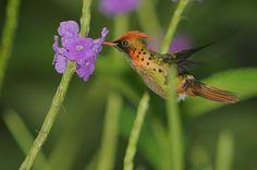 hummingbirds in flight - Google Search
