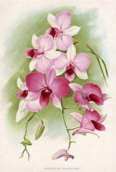 Dendrobium Phalaenopsis, 1895