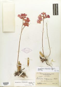 Herbarium Specimen.  Beautifully pressed flowers.