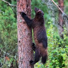 WOLVERINES! Finland might be the best place in the world  to photograph…