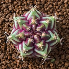 Spectacular photos of desert plants by Wachirapol Deeprom, a gifted self-taught photographer, and cactus lover currently based in Bangkok, Thailand. Succulent Gardening, Cacti And Succulents, Planting Succulents, Planting Flowers, Mini Cactus, Cactus Flower, Cactus Cactus, Cactus House Plants, Indoor Cactus