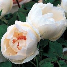 The Nun - David Austin Roses