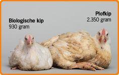 Biologische kip en plofkip