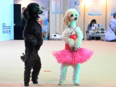 Paws for applause: Two poodles stand up on their hind legs to welcome visitors to the annual Pets Cultural Festival in Hangzhou, capital of east China's Zhejiang Province