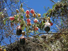 fiori del Perù -fiori e frutti  Cerca con Google