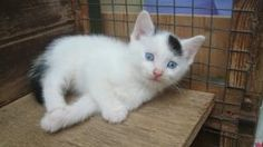Armani is a handsome little white cat with black spots and blue eyes! He's looking for a home.