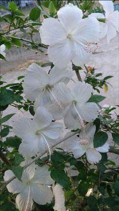 White Hibiscus Hibiscus Bouquet, Hibiscus Tree, Hibiscus Plant, White Hibiscus, Hibiscus Flowers, Unusual Flowers, Love Flowers, My Flower, White Flowers