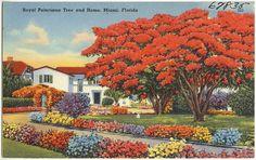 poinciana tree palm beach | Royal Poinciana tree and home, Miami, Florida
