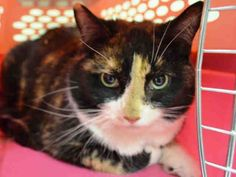TO BE DESTROYED 11/26/14 Manhattan Center My name is CODIE. My Animal ID # is A1021435. I am a female calico domestic sh mix. The shelter thinks I am about 5 YEARS old. I came in the shelter as a OWNER SUR on 11/22/2014 from NY 10029, owner surrender reason stated was PERS PROB. Owner never took Codie to a vet and Codie lived soley indoors while under the owner's care. NEW HOPE Only!