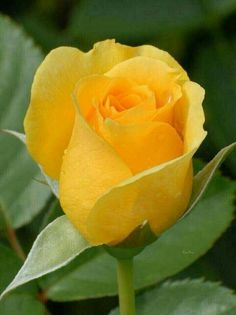 A beautiful rose I am sending it to heaven to my Daughter Jess. Beautiful Rose Flowers, Exotic Flowers, Amazing Flowers, Beautiful Gardens, Yellow Flowers, Pink Roses, Blossom Garden, Hybrid Tea Roses, Flower Pictures