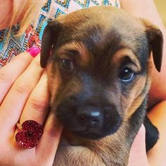 Poppy & Puppy! #buckleylondon #poppy #puppy #terrier #puppiesofinstagram #cute #ring #RBL #royalbritishlegion  #poppyappeal #jewellery #buckleyremembers #terrierpuppy