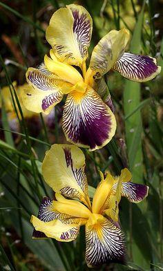 Purple & Yellow Iris