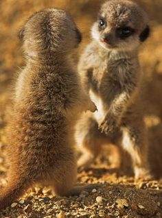 The meerkat or suricate, Suricata suricatta, is a small mammal belonging to the mongoose family. Meerkats live in all parts of the Kalahari Desert in Botswana, in much of the Namib Desert in Namibia and southwestern Angola, and in South Africa.