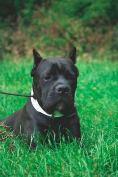 Perfect The month old Cane Corso Bokito who is in training Trainingcenter Dutch Dog