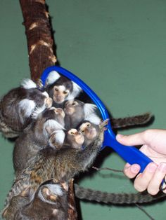 Mirror, mirror on the wall, who's the loveliest marmoset of them all?