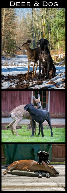 Unexpected Friends: Deer and Dog