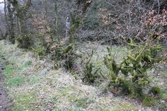 Some old hedges look amazing. These mossy old fellows are in Northumberland