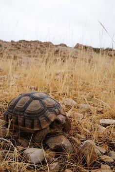 Spur-thighed tortoise or Greek tortoise (Testudo graeca) | by markusOulehla