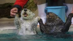 These otters wish all of you a happy new year! - January 1, 2018
