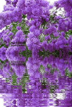 Beautiful lilacs reflection in the water! Beautiful Landscapes, Beautiful Images, Beautiful Gardens, Beautiful Flowers, Unique Trees, Ponds Backyard, Flowering Trees, Flowers Nature, Nature Pictures