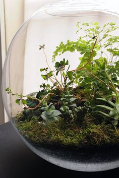 indoor gardening at its finest.  fishbowl terrarium