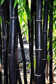 50 Timor Black Bamboo Seeds Privacy Plant Garden Clumping Exotic Shade Screen Container Hardy Deck F Bamboo Seeds, Bamboo Plants, Outdoor Plants, Bamboo Wall, Bamboo Tree, Outdoor Gardens, Phyllostachys Nigra, Bamboo For Sale, Cerca Natural