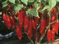 Hot Paper Lantern Chili Peppers-annual