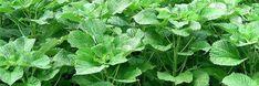 chemlonka.cz - pletací příze Chemlonka - Chemlonka.cz, pletací příze Herbs, Herb, Medicinal Plants