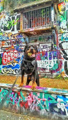 My Dog Efe Rottweiler with Graffiti