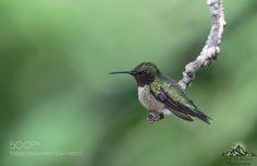 Hummingbird Resting by ericbrown. @go4fotos