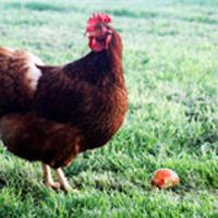 """Frequency Needed To Clean The Coop While chickens may be """"simple"""" animals, they still like to feel comfortable and part of that comfort involves keeping your chicken coop clean. A tidy house for your fowl will not only make for hap"""