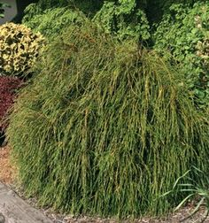 """Thuja Plicata """"Whipcord""""  5'-6' tall x 2'-3' wide in 10 years"""
