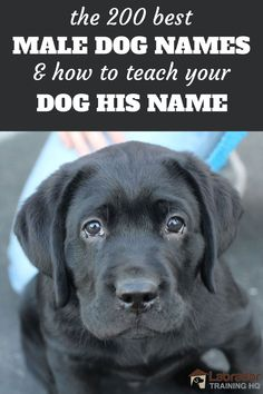 The 200 Best Male Dog Names and How To Teach Your Dog His Name - Black Labrador Retriever puppy looking at you with puppy dog eyes. Cute Male Dog Names, Boy Dog Names Unique, Big Dog Names, Black Dog Names, Cute Puppy Names, Pet Names, Masculine Dog Names, Labrador Names, Labrador Puppies