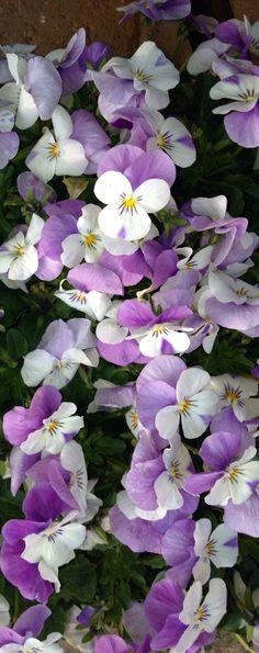 Spring By Daniëlle D. More -- The beauty of Pansies Amazing Flowers, My Flower, Purple Flowers, Beautiful Flowers, Cactus Flower, Exotic Flowers, Roses Pink, Tea Roses, Yellow Roses