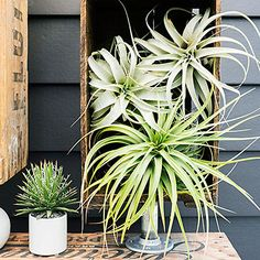 Stack large tillandsias in shelving made from old fruit crates.