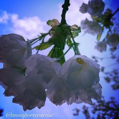 http://instaprints.com/featured/dreaming-in-blue-anna-porter.html  Dreaming in Blue, white flowering dogwood with a blue cast, from my neighborhood walk, copyright 2014 @annaporterartist. iPhone5, edited with #aviary . #flowers, #white, #flowering, #dogwood, #trees, #blue, #sky, #spring, #annasgardens, #Oregon, #PacificNorthwest, #floralart, #floral, #art, #flower, #tree, #skies, #clouds, #annaporterartist, #annaporterart, #instaprints