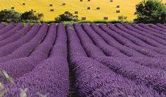 Aix-en-Provence, France Lavender season