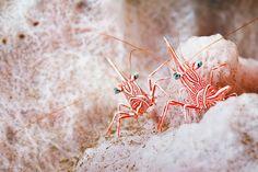 Durban hinge beak cleaner shrimp