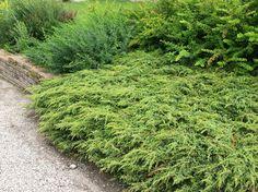 Kataja, kääpiökataja Juniperus communis ´Repanda´ Fruit Vert, Sophie's World, Juniperus Communis, Plantation, Bonsai, Perennials, Country Roads, Herbs, Landscape