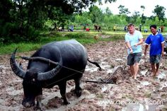 Learning to work the rice paddies with a water buffalo at the Thailand holiday rental Gecko Villa. Thailand Vacation, Water Buffalo, Villa, Rice, Learning, Holiday, Animals, Vacations, Animales