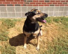 Penny is a gorgeous German Shepherd that needs a forever home.