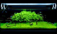 Moss & Microsorum